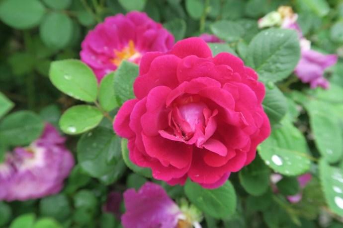 Rose in USBG