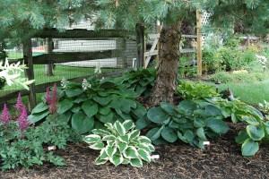 Planting under evergreens