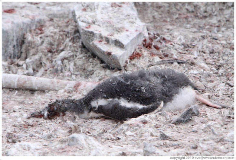 Gentoo Penguin in Antarctica after hottest day on record