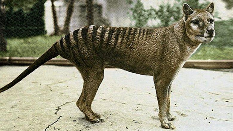 Tasmanian Tiger in a zoo.