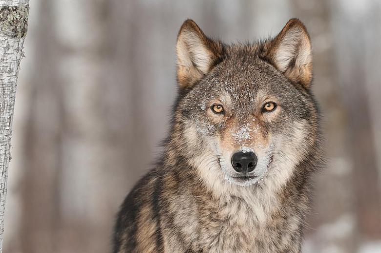 Romanian Wolf. Likely to be killed soon.