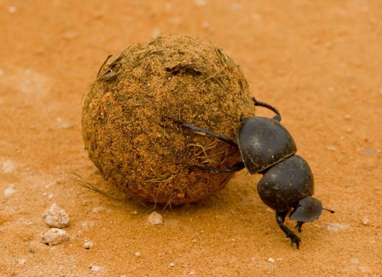 dung beetles poo