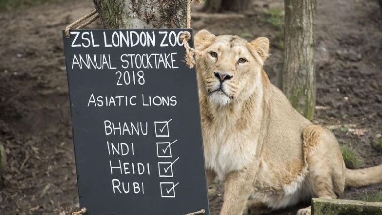 Lion trapped with animals in cages at London Zoo