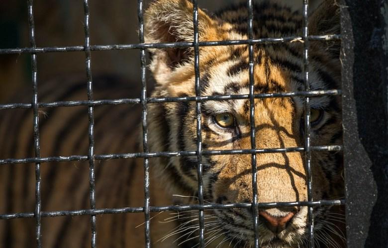 Joe Exotic Tigers
