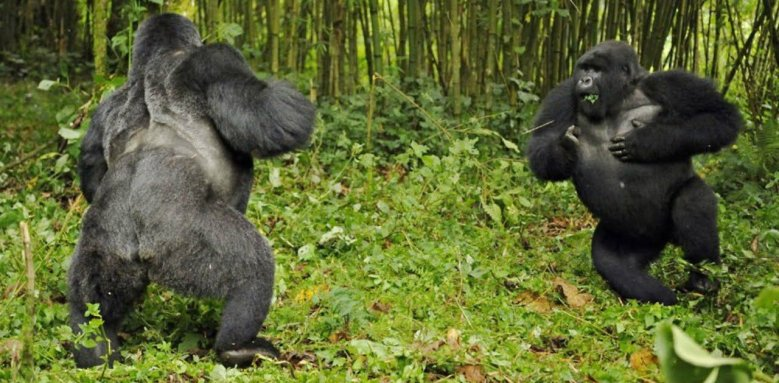 Critically endangered gorillas