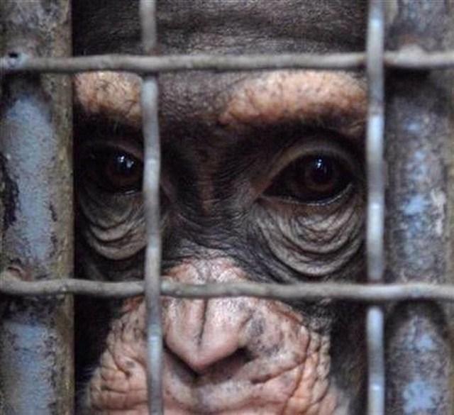 Chimps human rights