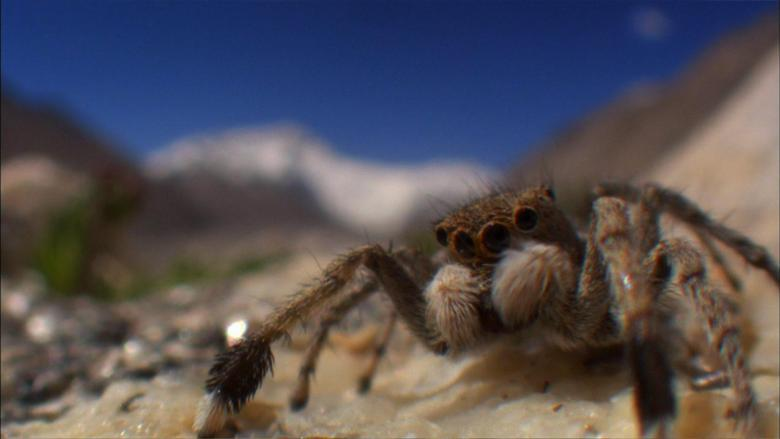 Himalayan Jumping Spider Everest