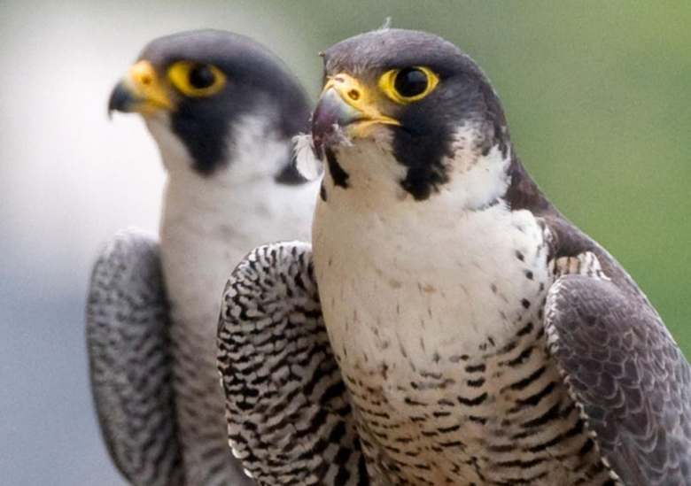 Peregrine falcons stealing