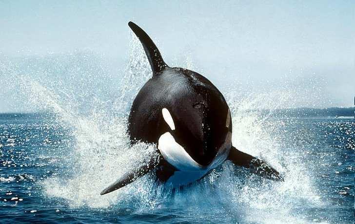 Rogue orcas