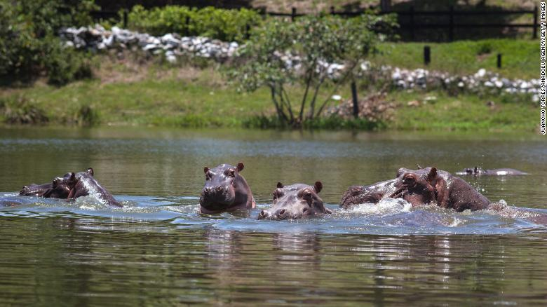 Colombia's Cocaine Hippos
