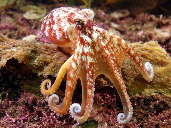 Psychoanalysis of Octopus