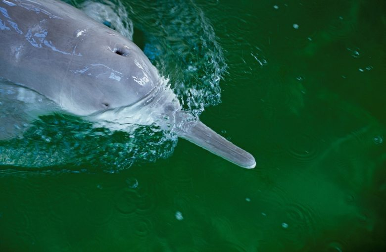 What Happened to the Yangtze River Dolphin?