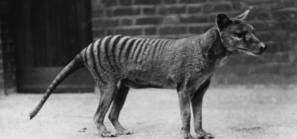 What Happened to the Tasmanian Tiger?