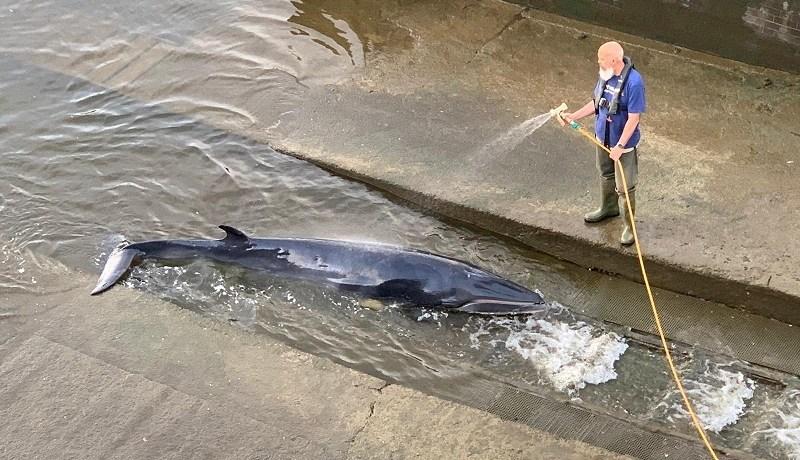 Baby Minke Whale