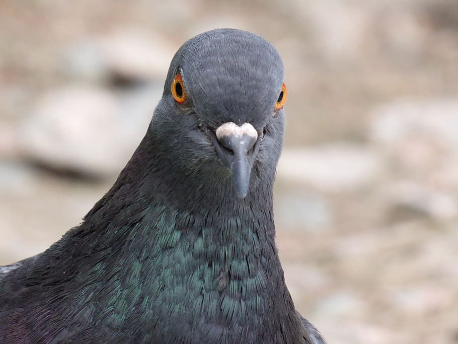 Pigeon Papers