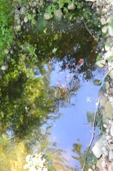 CW- Pond Coy
