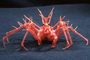 The frankly terrifying King Crab (Photo Credit: CSIRO)