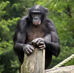 A bonobo, getting ready to lay down some mad beats (Photo Credit: Natataek at English Wikivoyage).