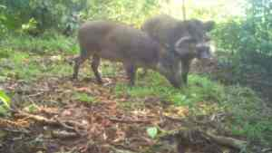 Image from a camera trap of a male and female Bawean warty pig (Photo Credit: Bawean Endemics Conservation Initiative, BEKI).