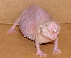 The naked mole rat, a quite remarkable creature (Photo Credit: Jedimentat44).