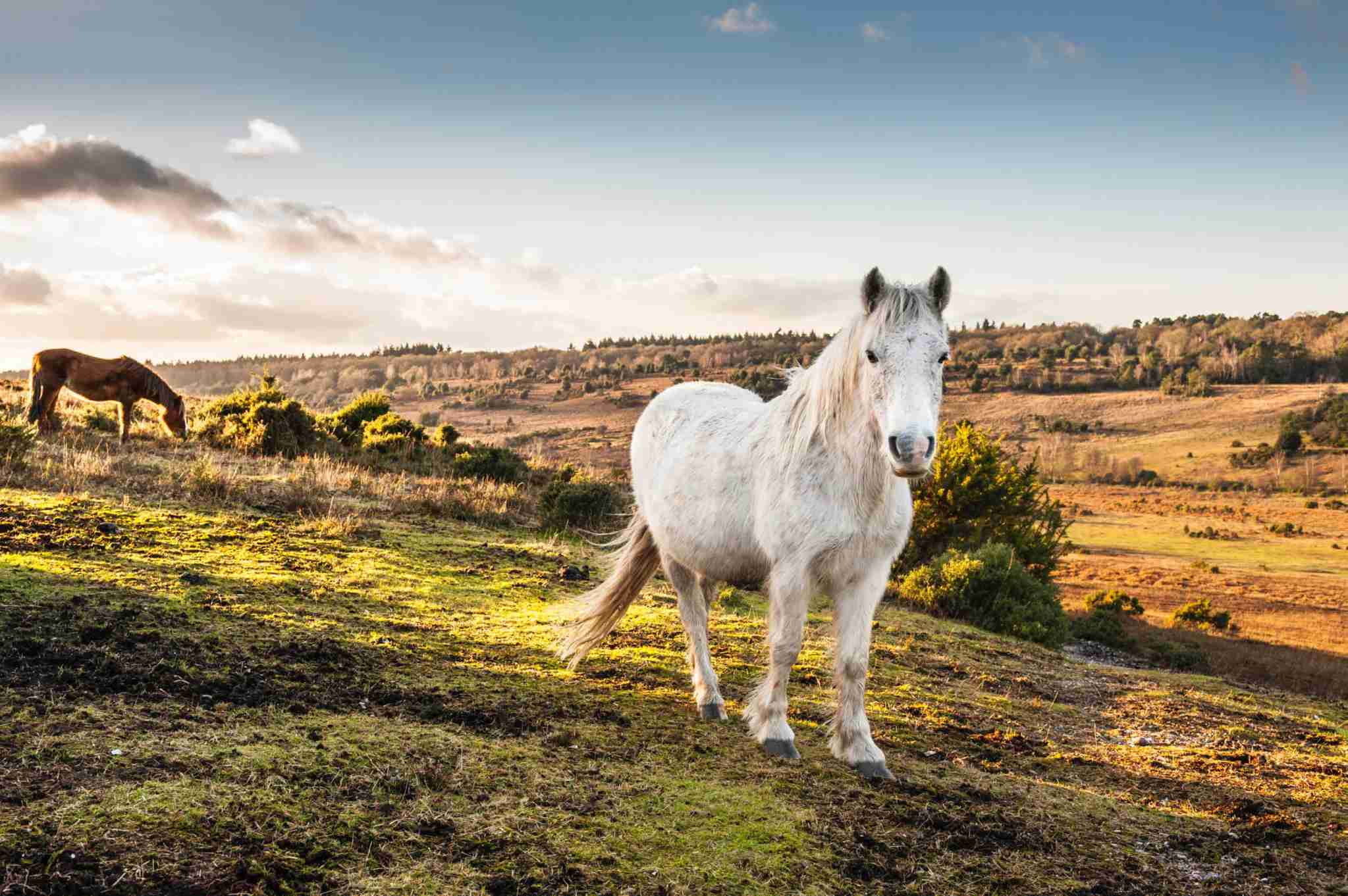 New Forest Horses roam free in the New Forest, Hampshire. (Photo by ProjectB/Getty Images)