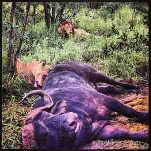 Although gruesome, the sight of lions feasting on a kill was just awesome.