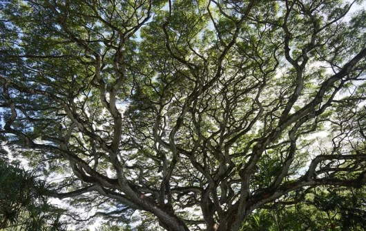 Nawa tree at the Waimea Valley Audubon Center