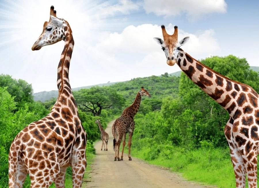 Giraffes on safari in Kruger Park South Africa - Courtesy of Shutterstock