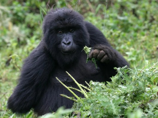Spot these lovable giants in Rwanda. Photo courtesy of Shutterstock.