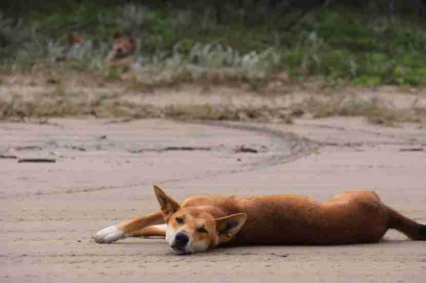 Dingo kicking back on the beach on Australia