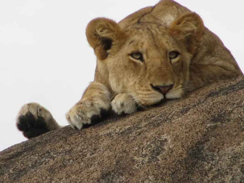 A teenage lioness at rest in Tanzania's Serengeti, pointed out by an andBeyond guide. Photo by TPG Travel Editor Melanie Wynne.