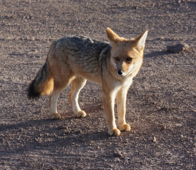 Don't feed the foxes who may venture close to your vehicle up at El Tatio.