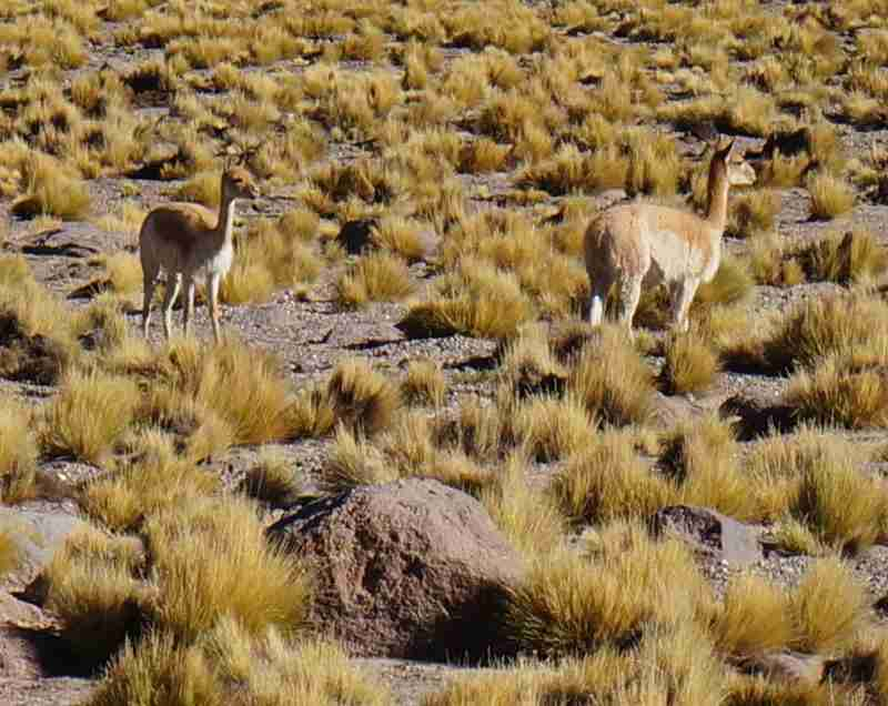 Vicuñas, the other camelid of the Atacama — not to be confused with llamas.