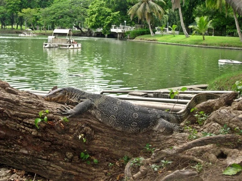 One of the many monitor lizards I spotted in the park