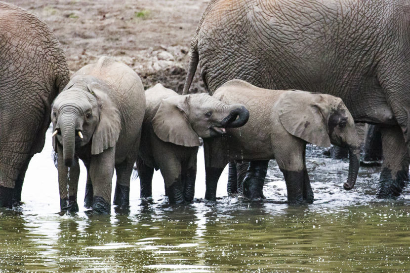 Baby elephants visit a watering hole. Image courtesy of the author.
