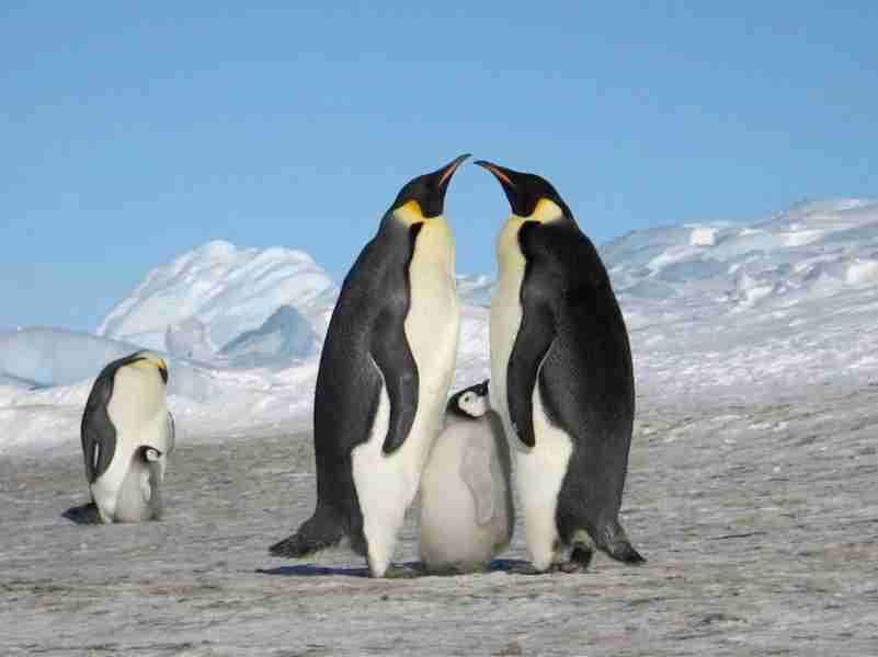 Atka Bay is home to a colony of more than 6,000 Emperor penguins. Image courtesy of White Desert Antarctica.