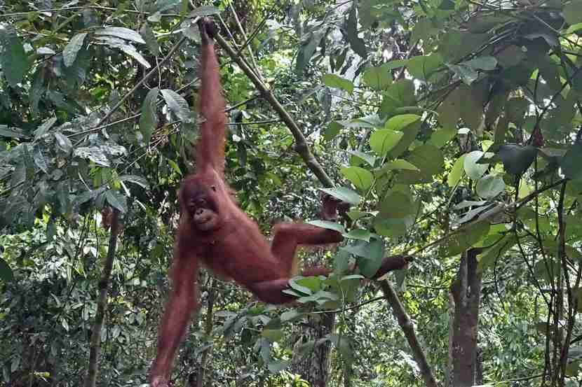 Borneo is the only place in the world you can see orangutans in the wild. Photo by Lori Zaino.