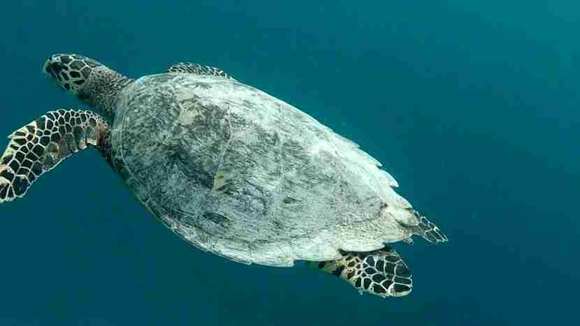 A sea turtle spotted during a dive in the Gili Islands. Photo by Jorge Ortega Villanueva.