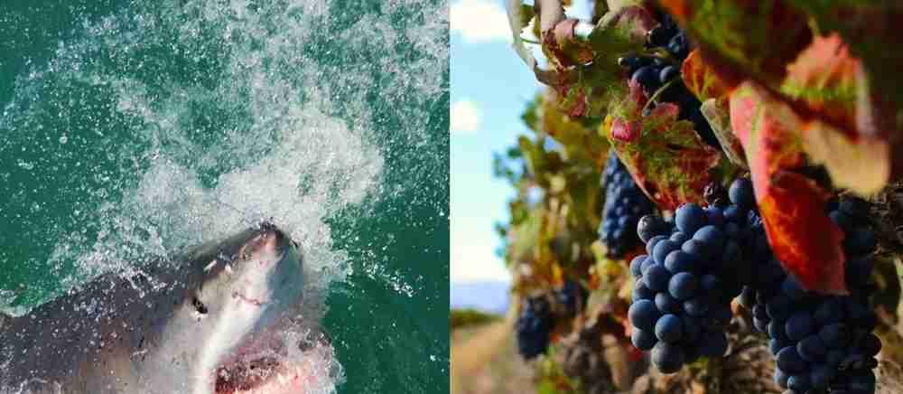 Sharks, then wine. Image courtesy of Sideways.