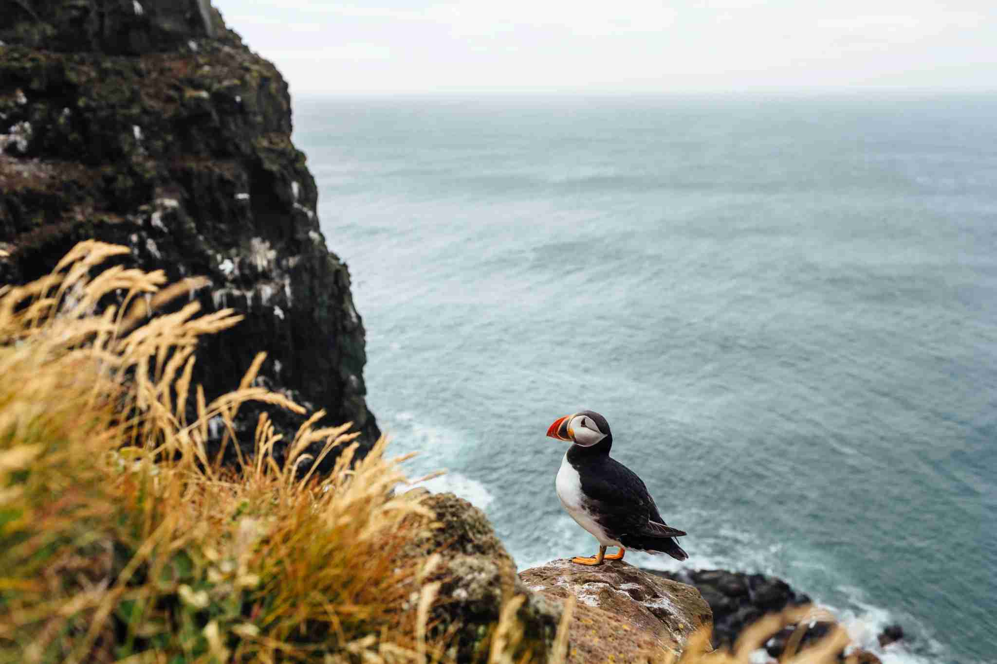 Photo of puffins at Látrabjarg by Alex Walker / Getty Images.