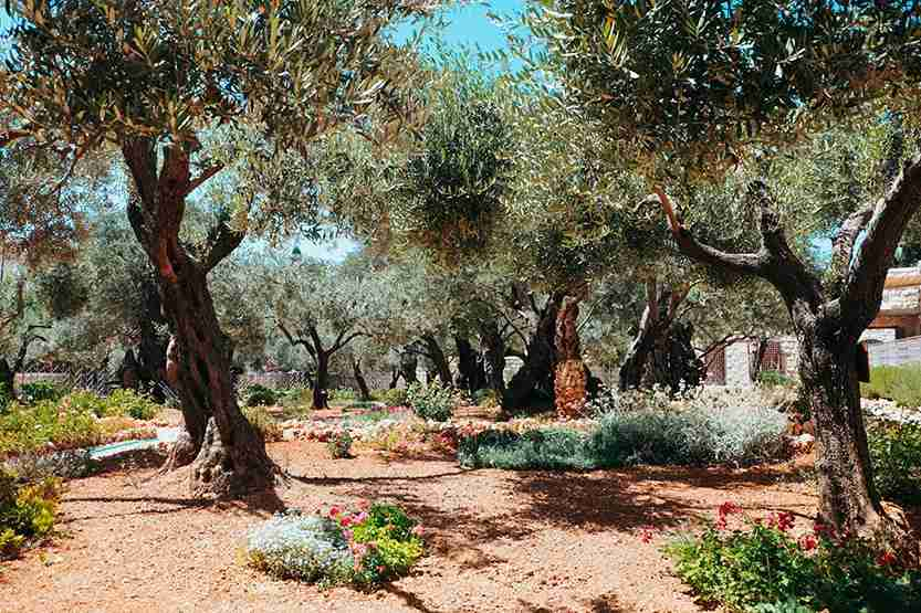 The beautiful garden of Gethsemane with its ancient olive trees. Photo by Alexandr Tkachuk / Getty Images