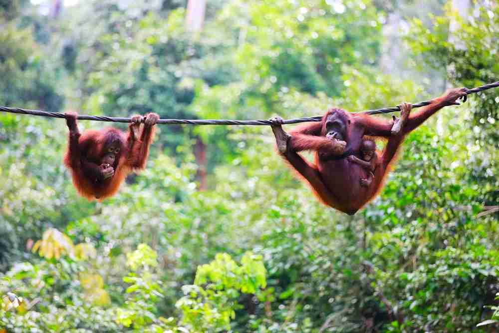 """Mother, baby and child orangutans from Sabah in Malaysian Borneo"""