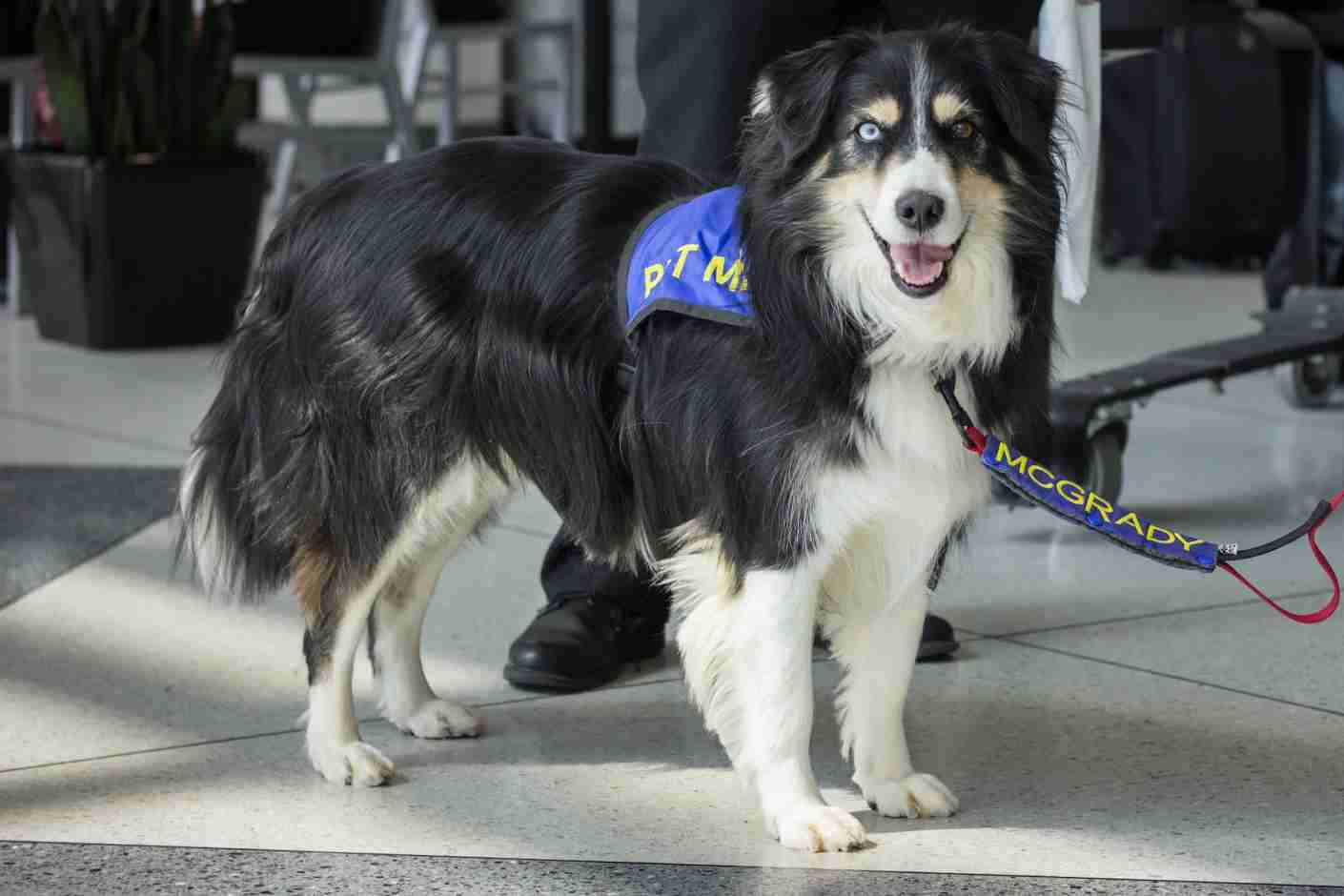 """McGrady is extra special,"" says Lauri Golden of the adorable Australian Shepherd. Image courtesy of Charlotte Douglas International Airport."