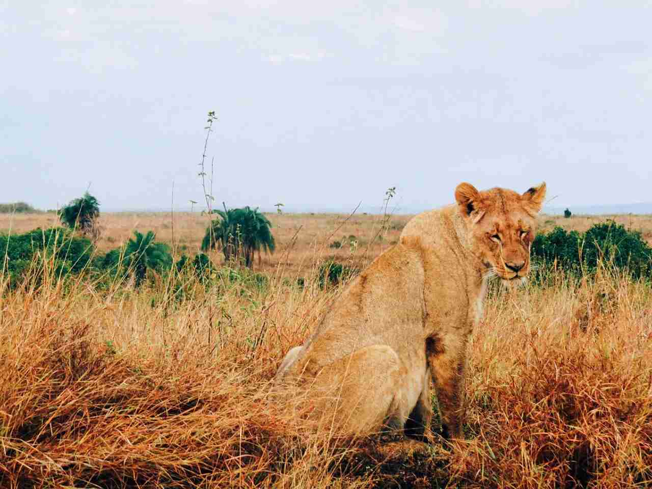 Lioness in the Nairobi National Park, Kenya. (Photo by @nana_dei via Twenty20)