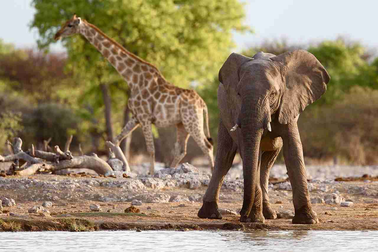 Baby Desert Elephant at Watering Hole in Kunene Region of Namibia. (Photo by Cat Gennaro - Getty Images.)