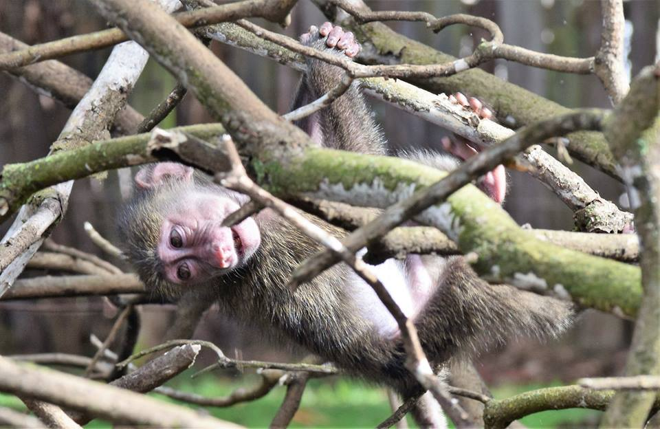 A baby baboon exploring her new home at Mount Kenya Wildlife Conservancy