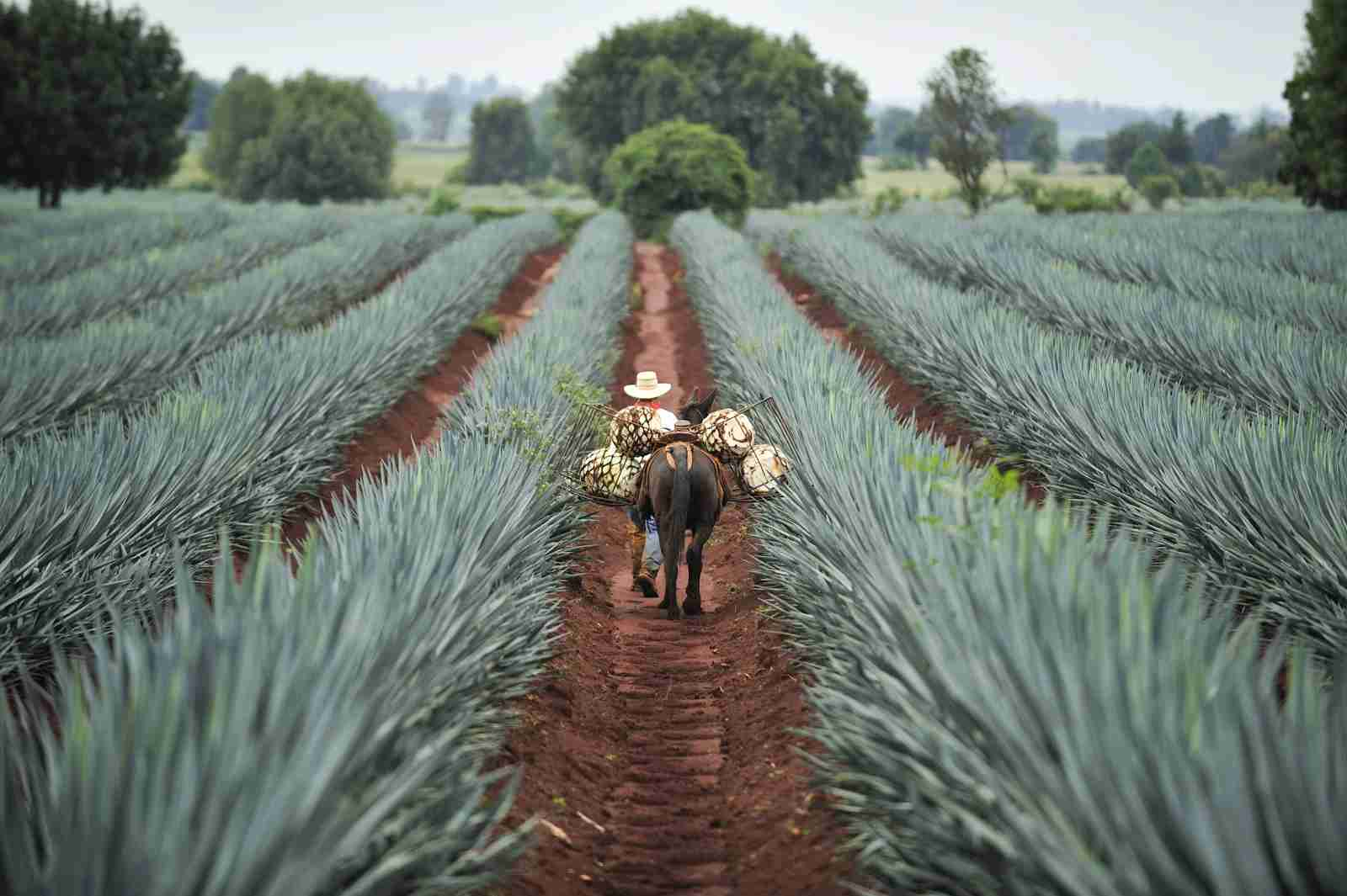 Tequila is harvested by donkey in certain regions of Mexico, like Jalisco, seen above. (Photo via Shutterstock)