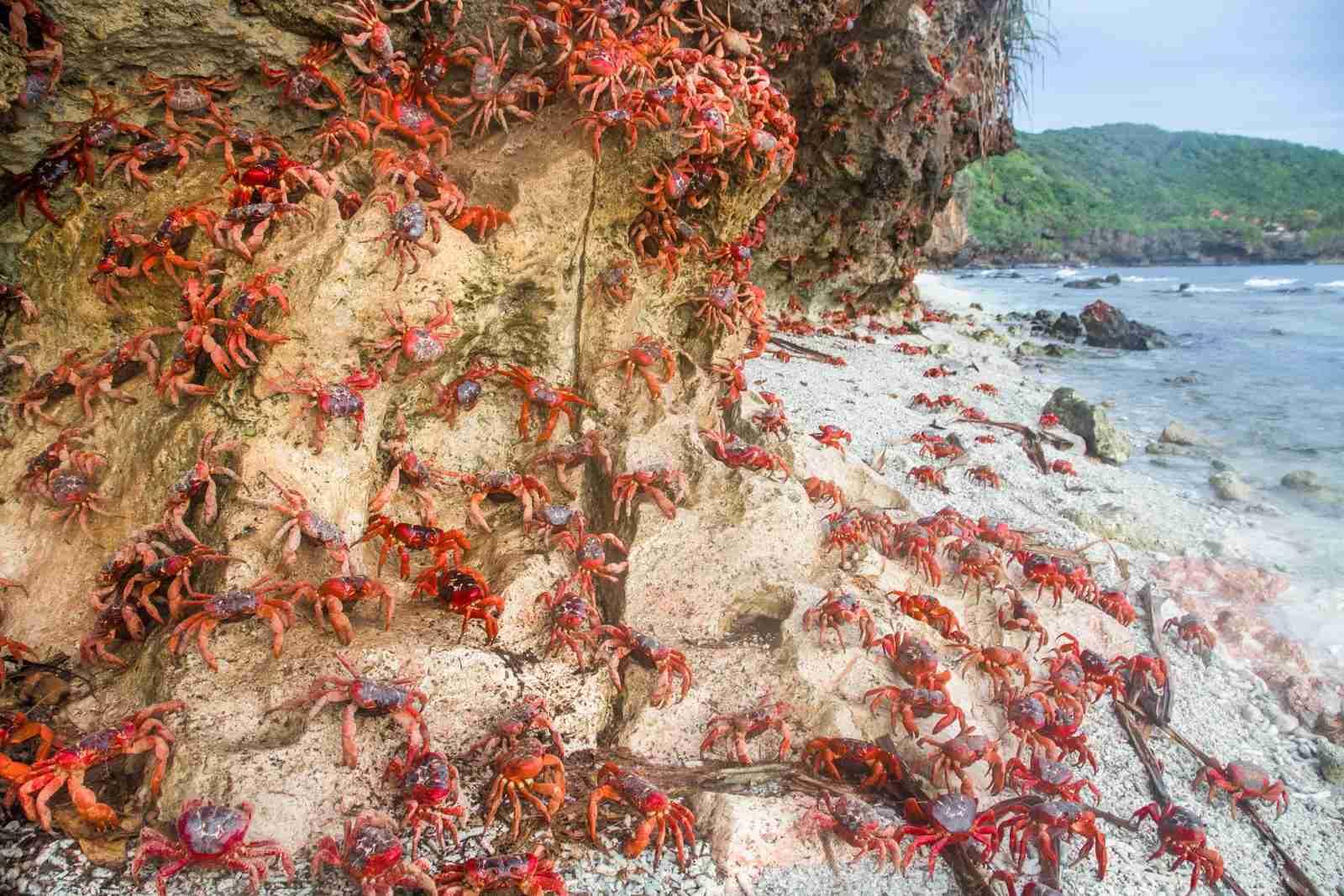 Crabs taking over at Ethel Beach on Christmas Island. (Photo by Raphael Bick via Unsplash)