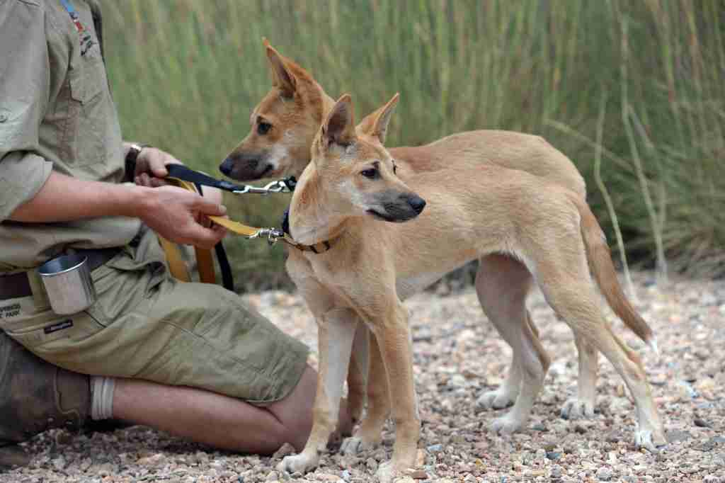 Dingo pups at the Alice Springs Desert Park (Photo by Getty Images)