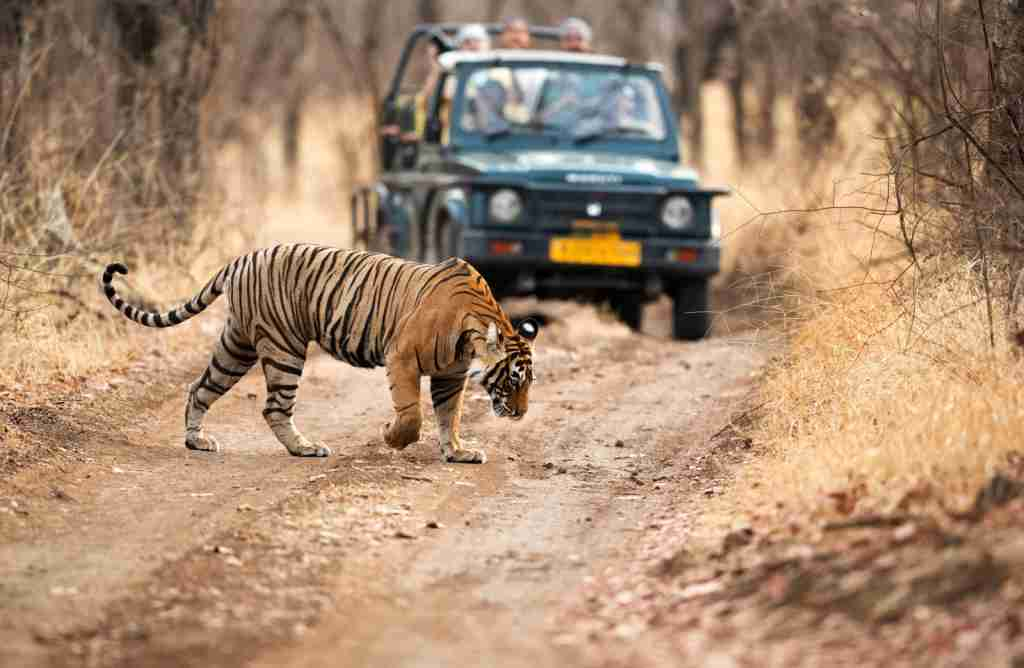 A tiger crossing a safari vehicle in Ranthambore National Park. (Photo via Shutterstock)